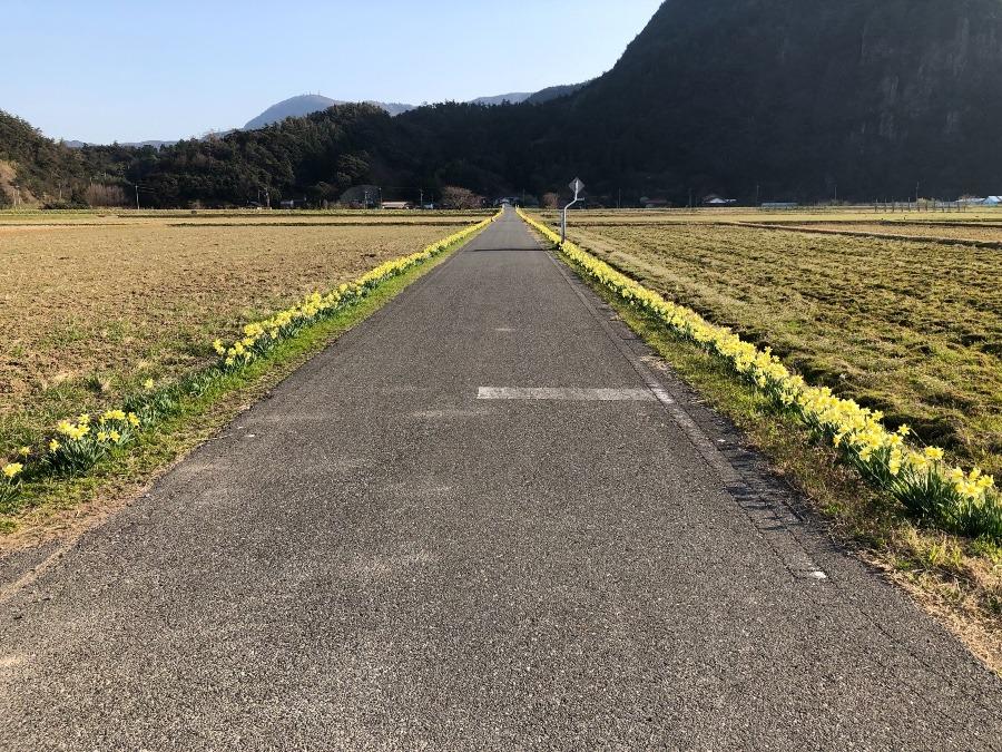 水仙ロード(五箇)